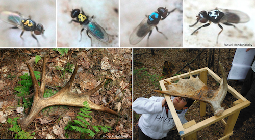 Composite image_Antler Fly_Olivia Cook_Chris Angell